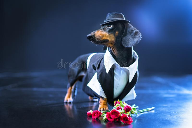 Portrait of a dachshund dog, black and tan, dressed in an elegant suit and white shirt, hat, dancer performing, with strong backli. Ght on the stage of a theater stock image