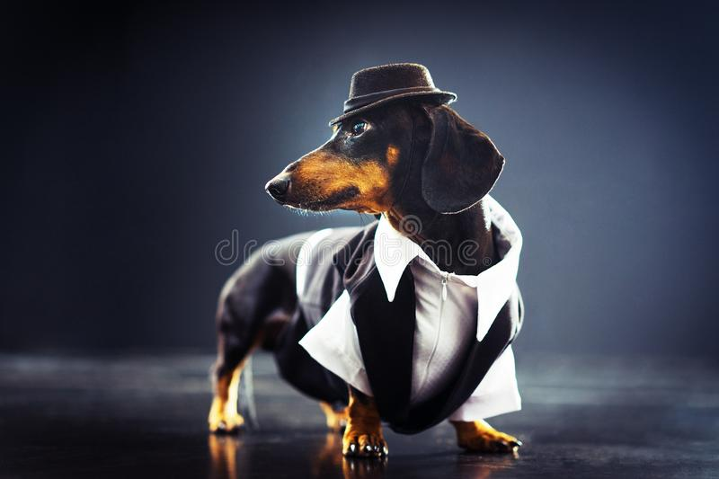 Portrait of a dachshund dog, black and tan, dressed in an elegant suit and white shirt, hat, dancing with strong backlight on the royalty free stock images