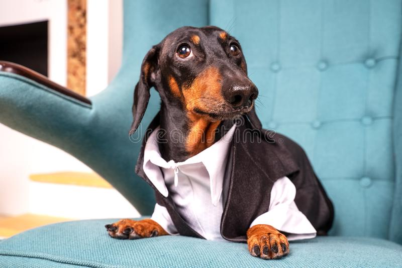 Portrait of a dachshund dog, black and tan, dressed in a white shirt and costume, sits in an easy chair and looks up in surprise royalty free stock photo