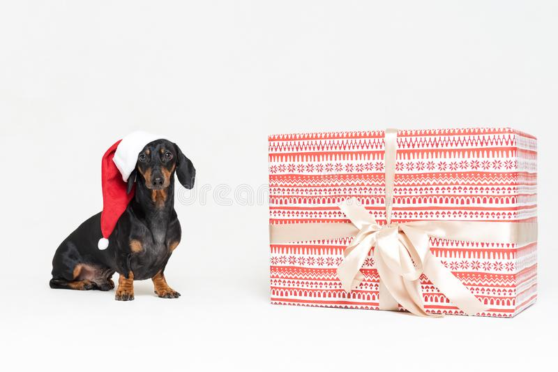 Portrait dachshund dog, black and tan, wearing a red Christmas hat Santa Claus, next to a large beautiful gift, isolated against a stock photos