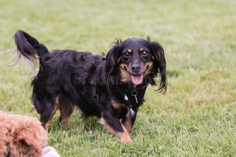 Dachshund adult dog stock photos