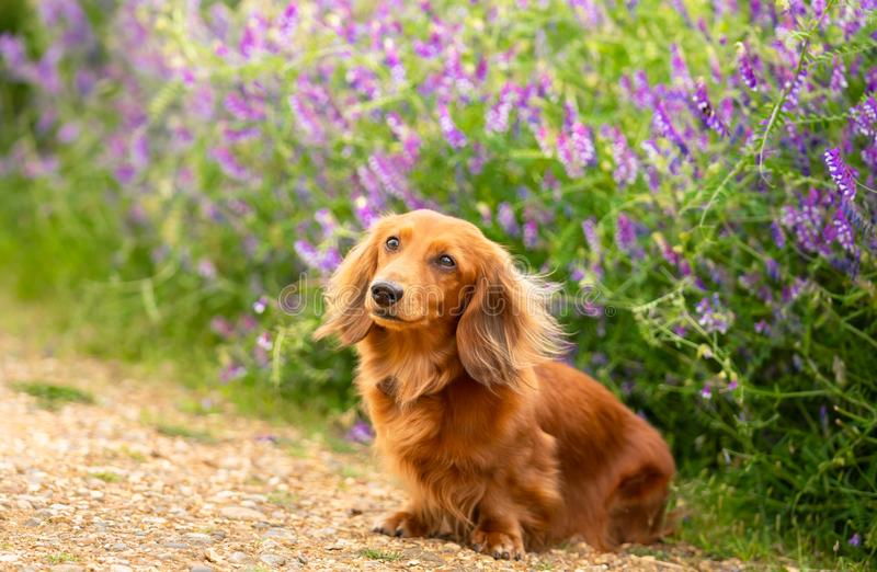 Portrait of Dachshund, Miniature Long Haired in the park. Portrait of Dachshund, Miniature Long Haired male dog  sitting on the path at the flower background in stock photos