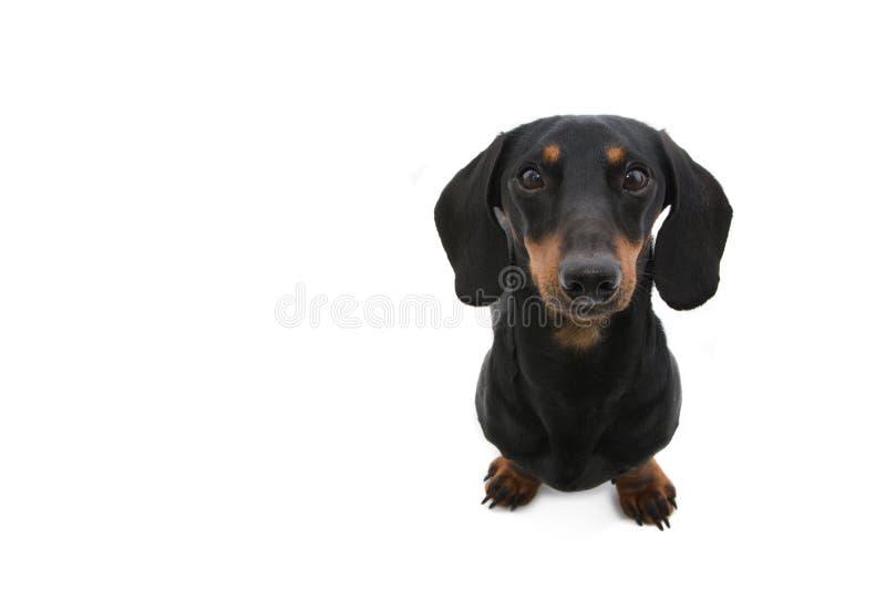 Portrait dachshund puppy dog looking up. Isolated on white background.  royalty free stock photo