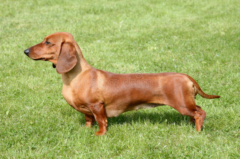 The portrait of Dachshund Standard Long-haired Red. Dog in the garden royalty free stock photography
