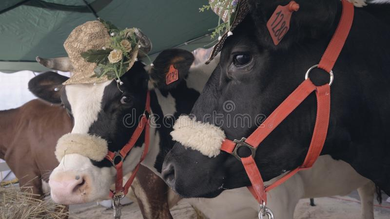 Portrait dairy cows with hats standing at agricultural exhibition. Head cow royalty free stock photos