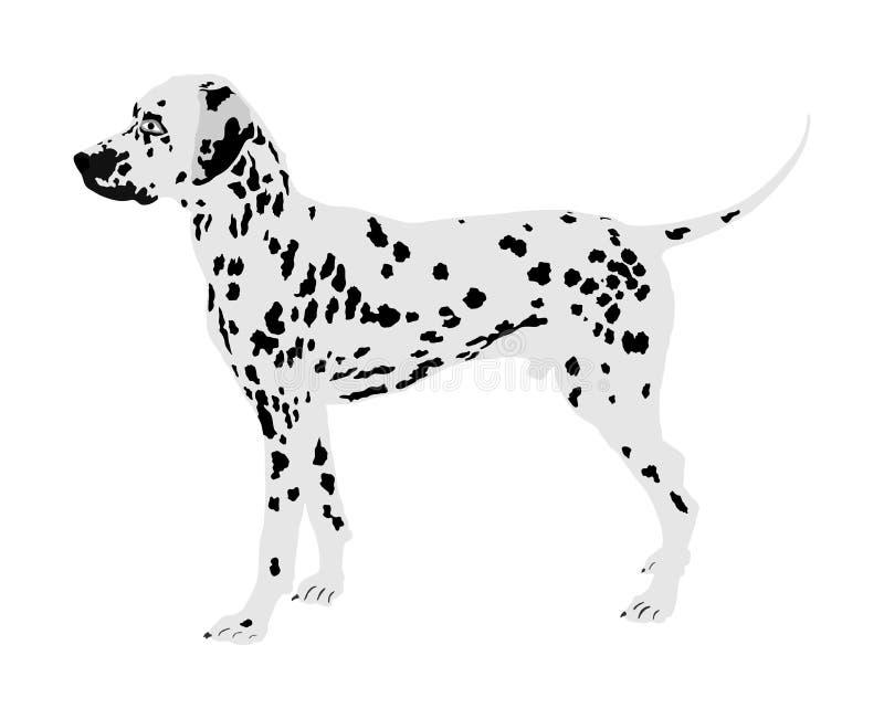 Portrait of Dalmatian dog vector. Portrait of Dalmatian dog vector illustration isolated. Beware of dog vector illustration