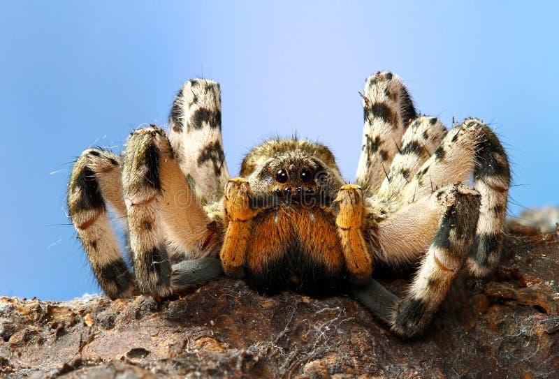 Dangerous creepy tarantula Lycosa singoriensis. Portrait of dangerous creepy tarantula Lycosa singoriensis royalty free stock image