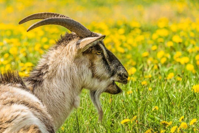 Portrait dans le profil d'une chèvre bêlante photo libre de droits