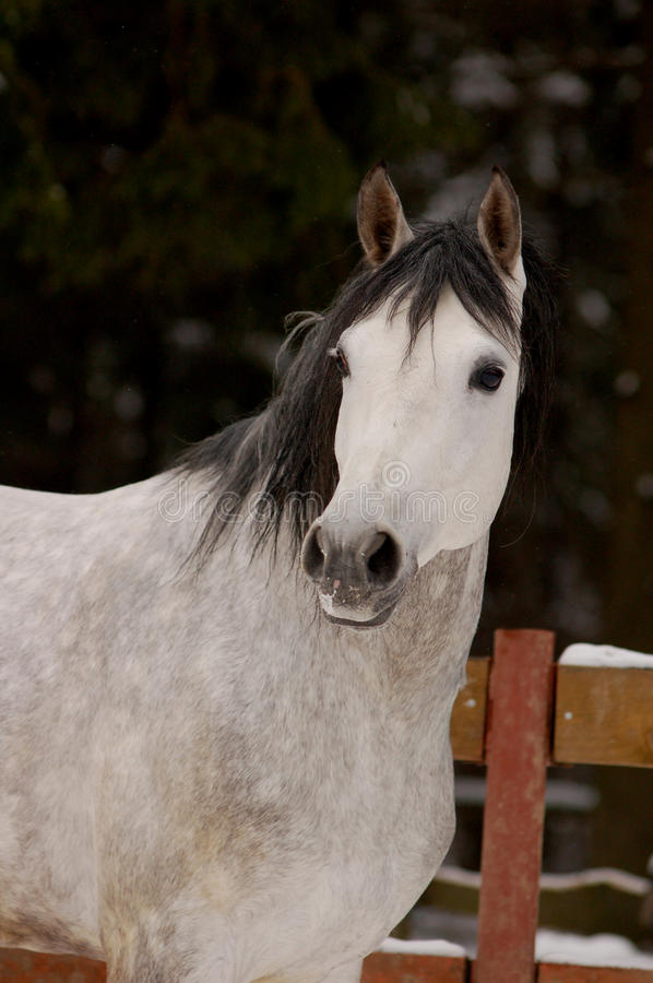 Download Portrait Of Dapple-gray Horse In Winter Time Stock Image - Image: 41578953