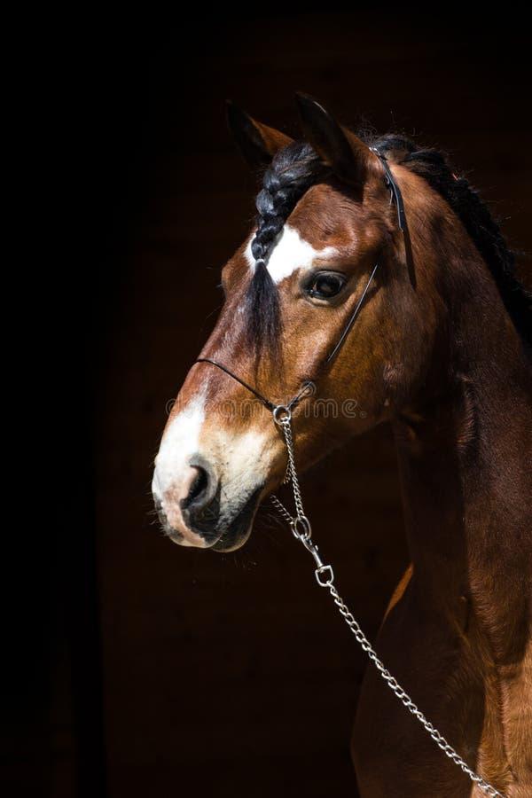 Portrait of dark bay horse stock photography