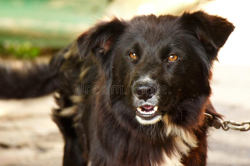 Portrait of a dark dog outdoors in the countryside royalty free stock photos