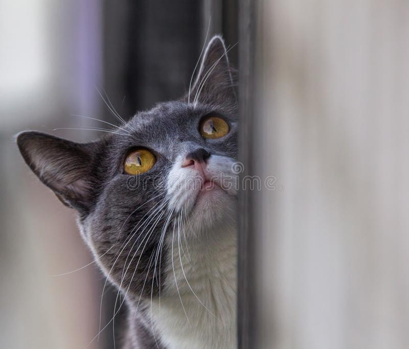Dark gray cat with a white spot looking up. Portrait of a dark gray cat with a white spot looking up royalty free stock image