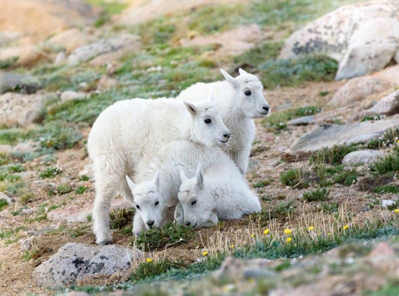 Portrait de 4 bébés de chèvre de montagne image libre de droits