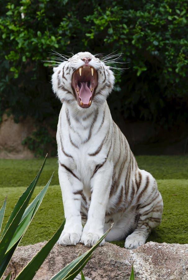 Portrait de baîllement de tigre blanc image libre de droits