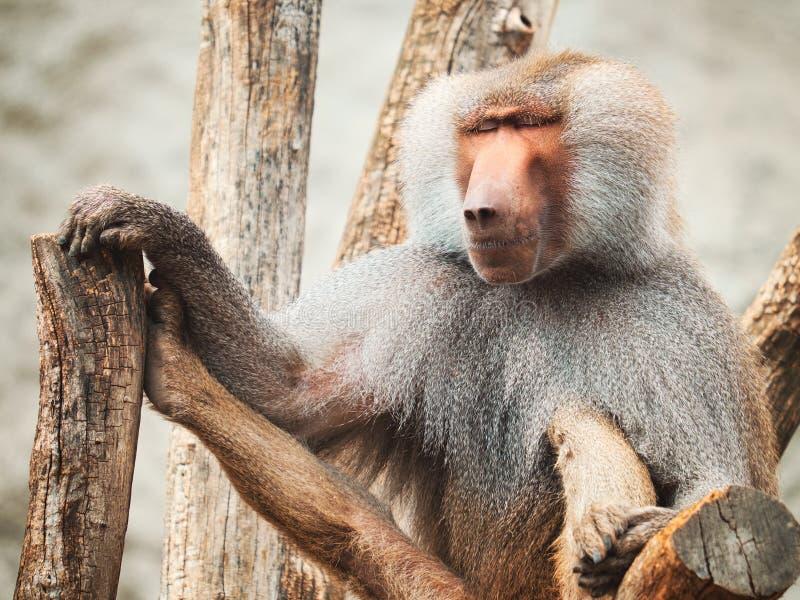 Portrait de babouin photographie stock