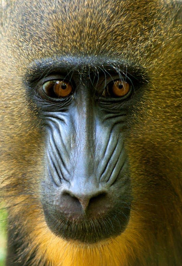 Portrait de babouin image stock