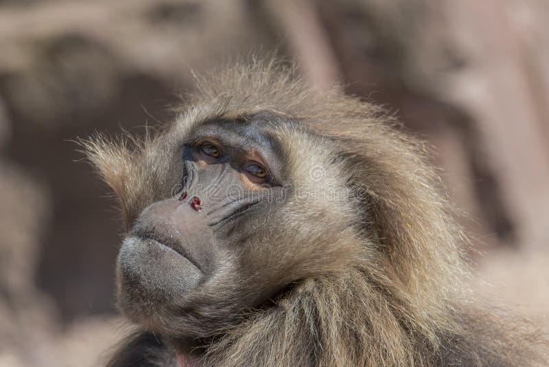 Portrait de babouin africain dans la station de vacances ouverte, Magdebourg, allemand photo stock