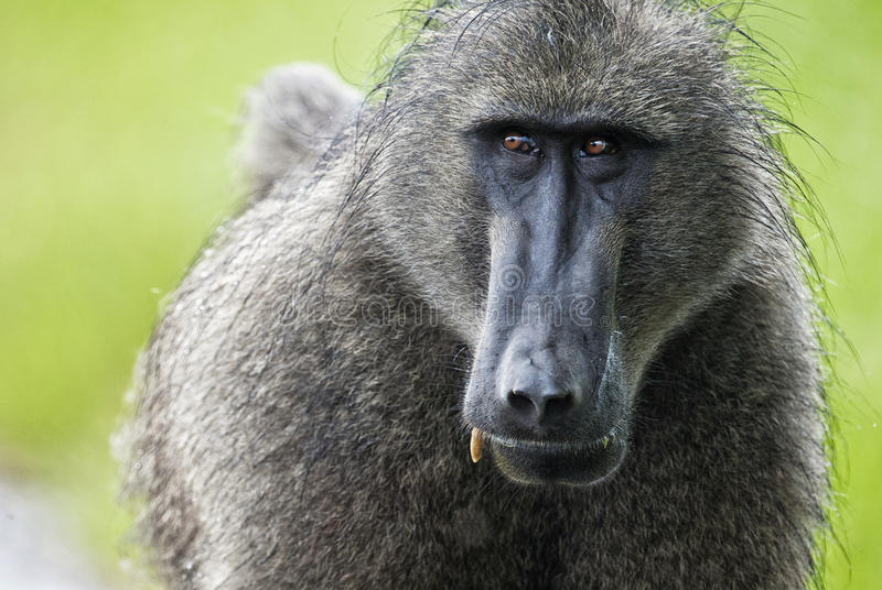 Portrait de babouin, Afrique du Sud photos stock