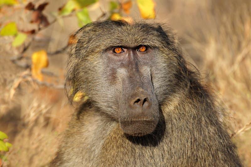 Portrait de babouin de Chacma photographie stock