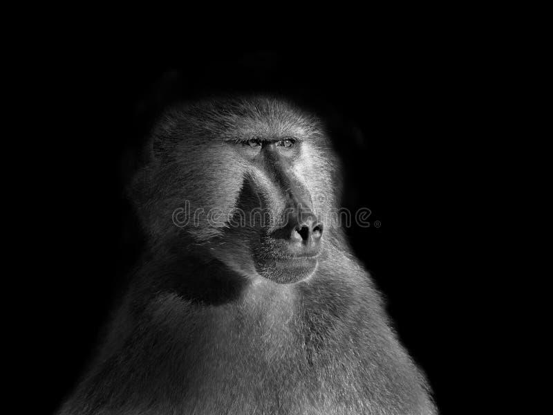 Portrait de babouin de Chacma photo stock