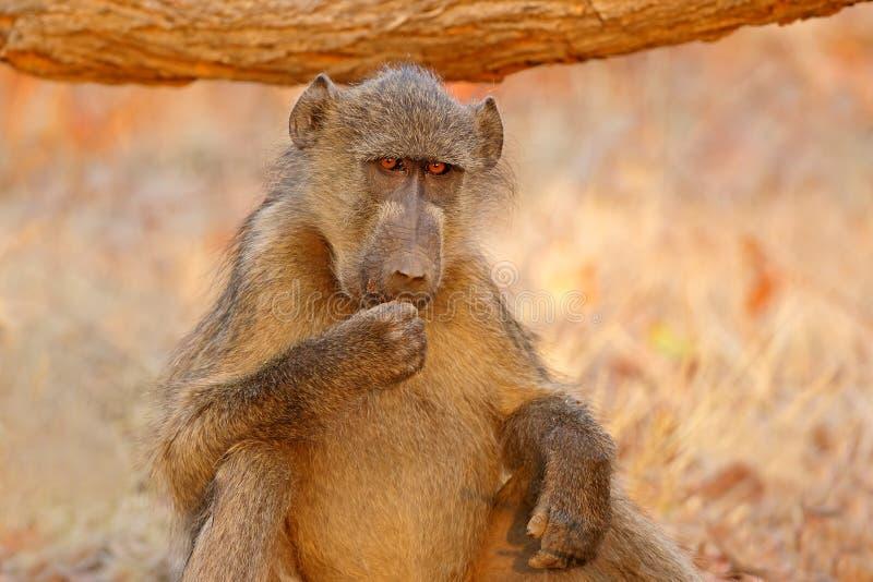 Portrait de babouin de Chacma photo libre de droits