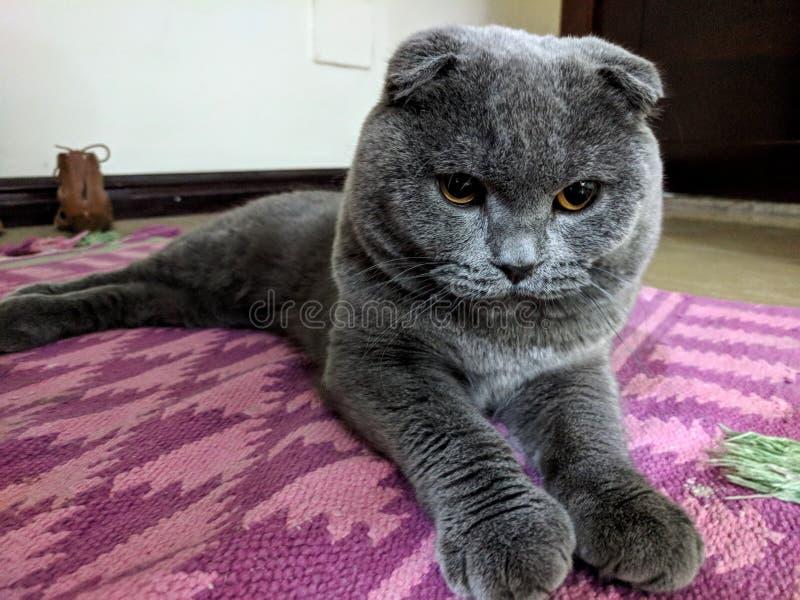 Portrait de beau chat britannique de pli de Scotish chez le chat bleu gris d'intérieurs à la maison - image photo libre de droits