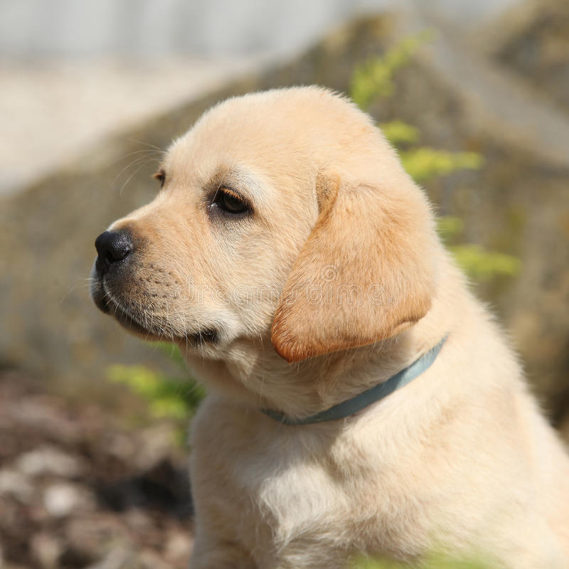 Portrait de beau chiot de labrador retriever photo libre de droits