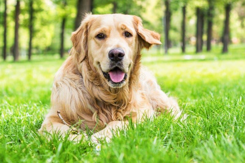 Portrait de beau golden retriever photo stock