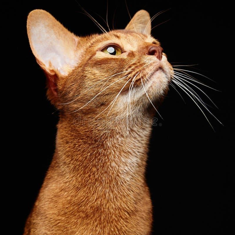 Portrait de beau jeune chat abyssinien photo libre de droits