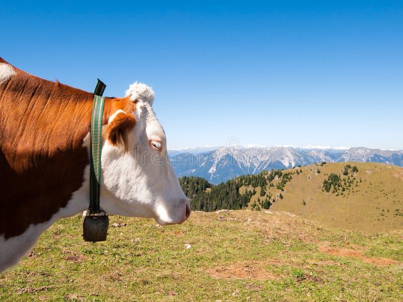 Portrait de belle vache dans le pré de montagne photo libre de droits