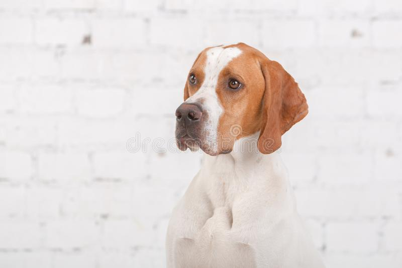 Portrait de blanc avec le chien anglais rouge d'indicateur dans un studio de photo au fond du mur de briques blanc photo libre de droits