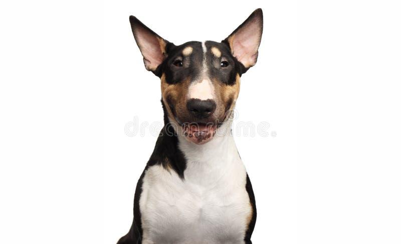 Portrait de bull-terrier sur le fond blanc d'isolement photos libres de droits