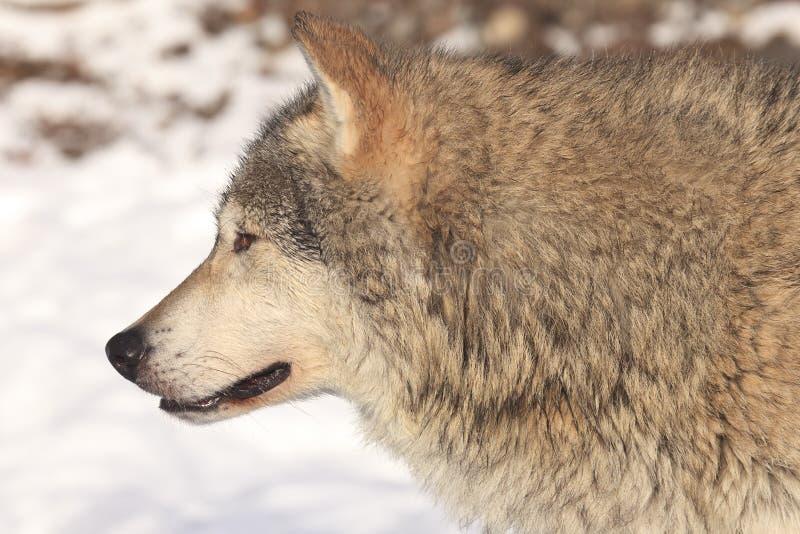 Portrait de côté de loup de bois de construction images stock