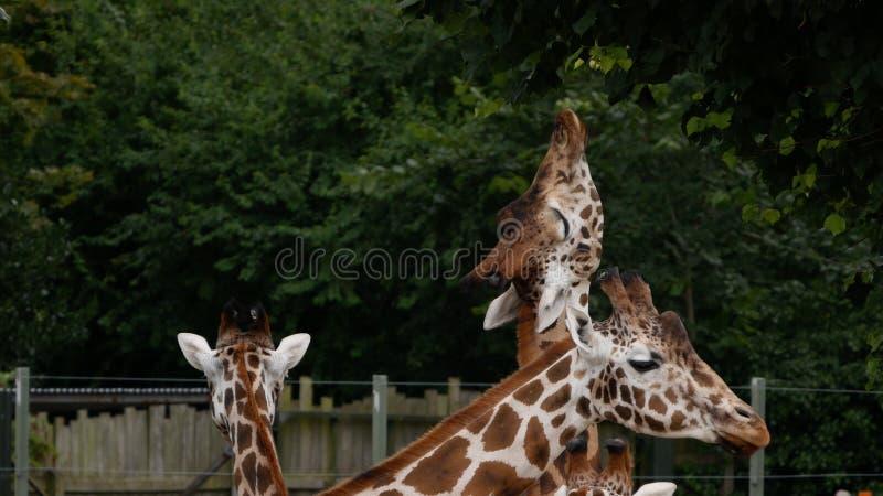 Portrait de camelopardalis de girafe/Giraffa s'étendant pour atteindre des feuilles sur un arbre image libre de droits