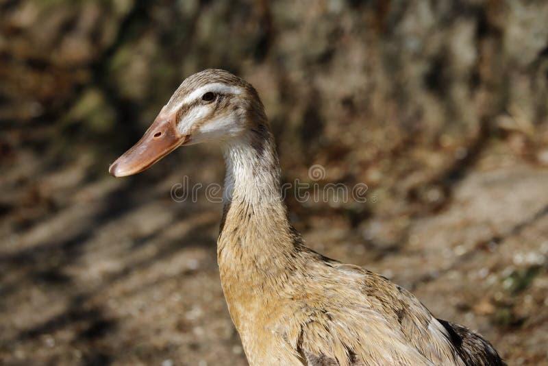 Portrait de canard domestique beige ? la ferme photos libres de droits