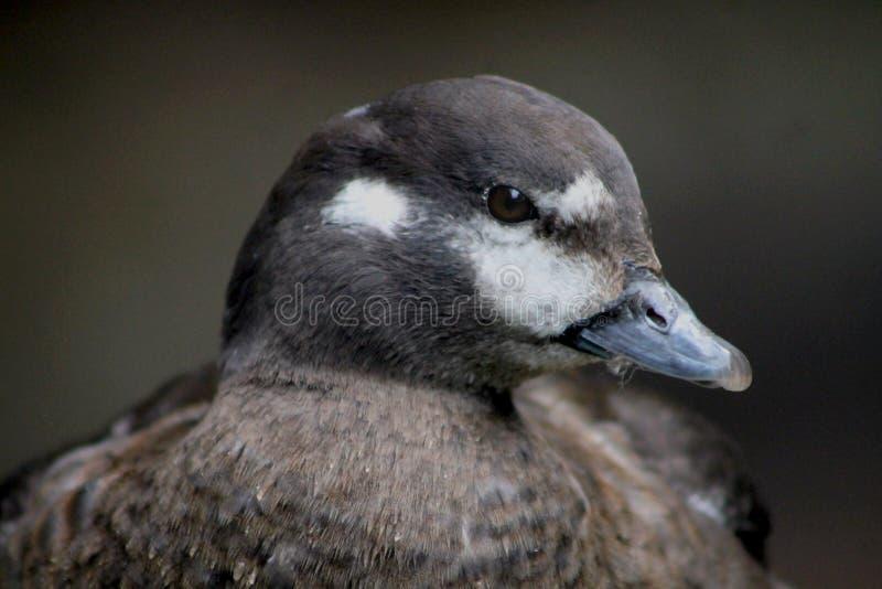 Portrait de canard femelle de harlequin image stock