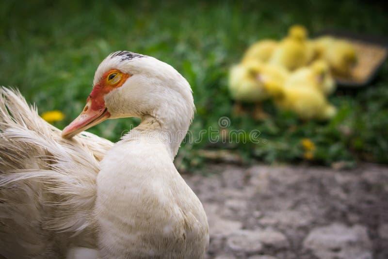 Portrait de canard de muscovy de mère et groupe de canetons pelucheux jaunes mignons de bébé à l'arrière-plan, concept de la fami images libres de droits