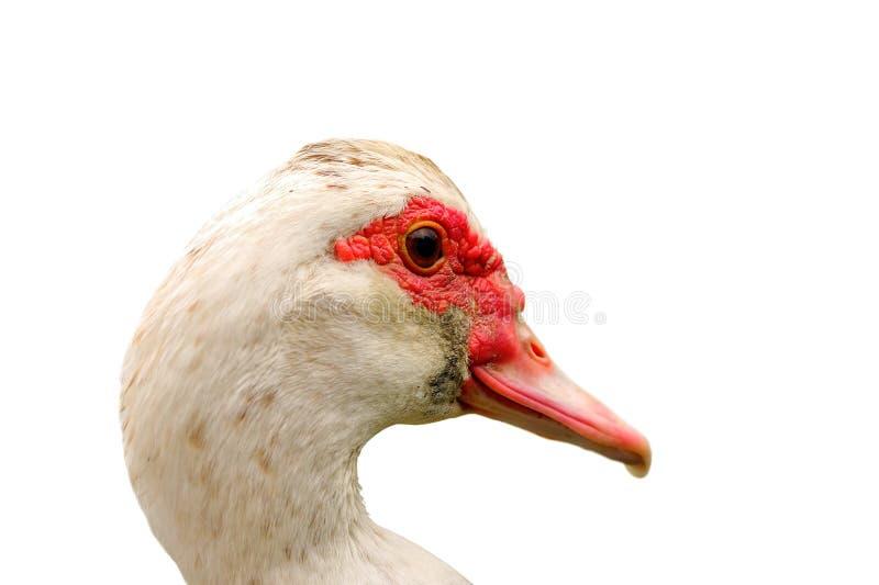 Portrait de canard muskovy au-dessus de blanc images stock