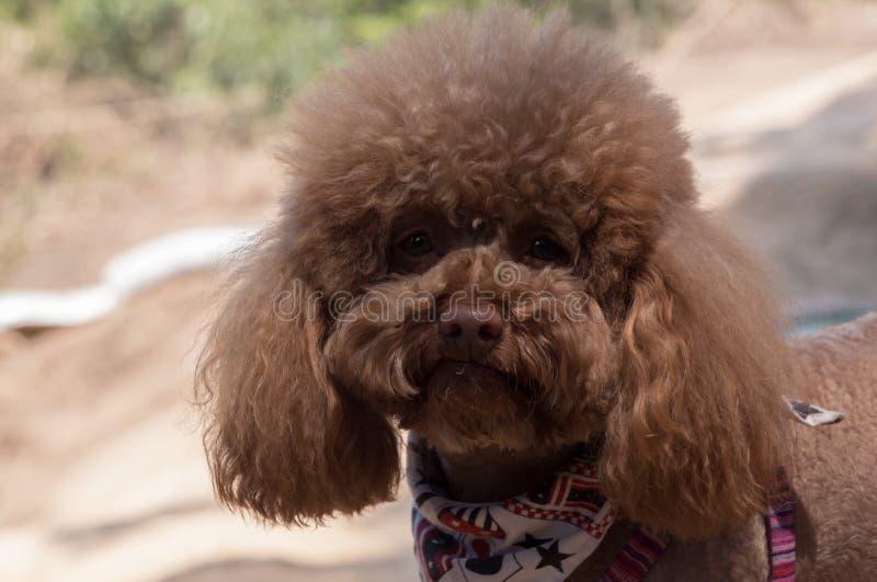 Portrait de caniche brun mignon dehors le jour ensoleillé, fond blured photographie stock