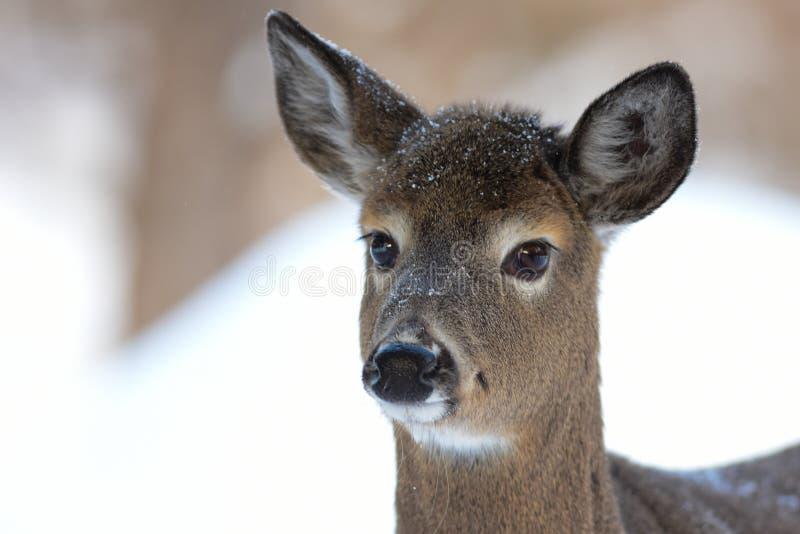 Portrait de cerfs de Virginie photographie stock libre de droits