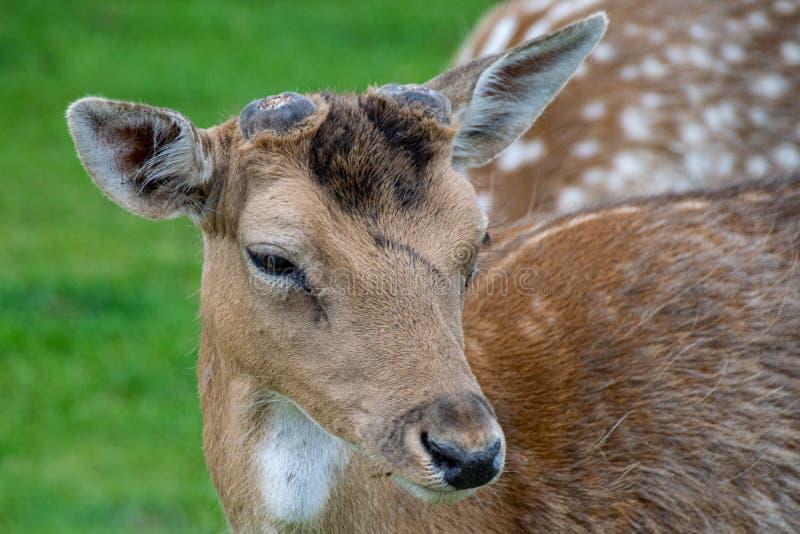 Portrait de cerfs en jachère avec des bois émergents photos libres de droits