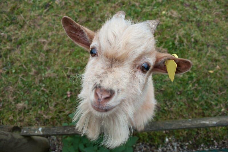 Portrait de chèvre dans un domaine photos stock