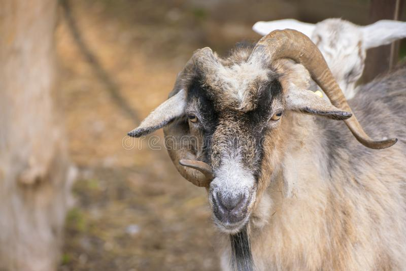 portrait de chèvre poilu avec cornes bouclées dans le zoo, animaux de mammifères photographie stock