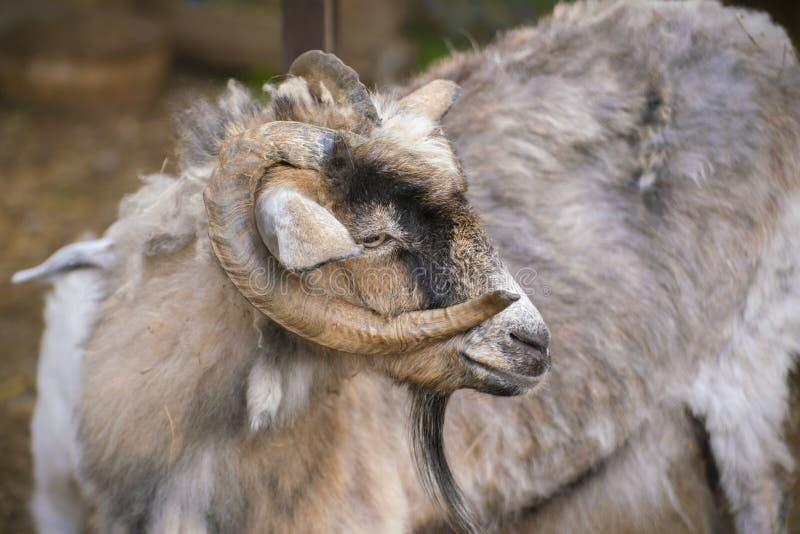 portrait de chèvre poilu avec cornes bouclées dans le zoo, animaux de mammifères photo libre de droits