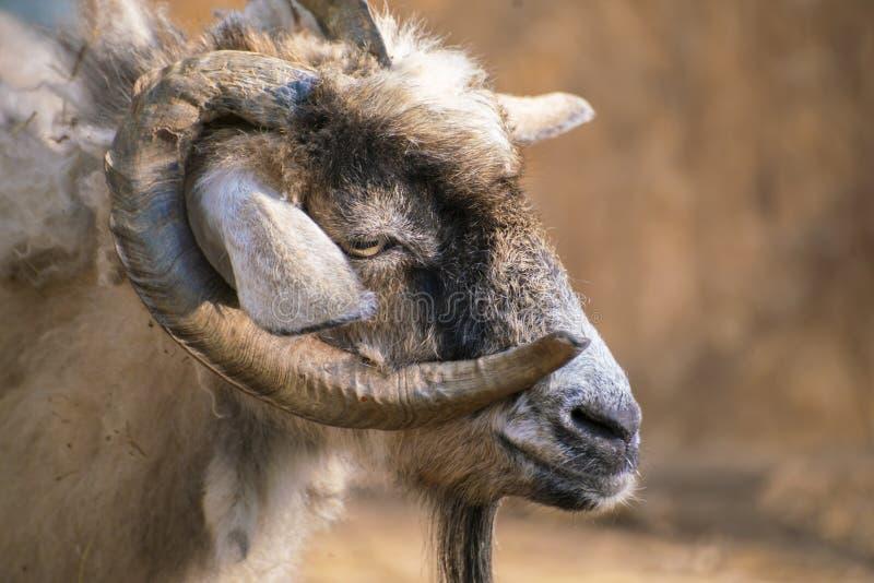 portrait de chèvre poilu avec cornes bouclées dans le zoo, animaux de mammifères image libre de droits