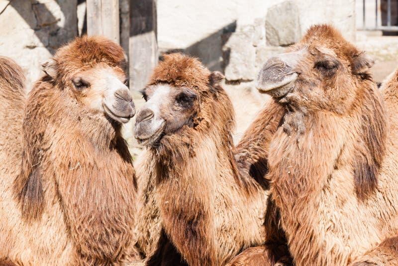Portrait de chameau image libre de droits