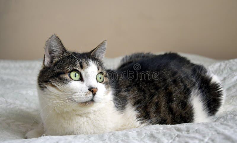 Portrait de chat images libres de droits