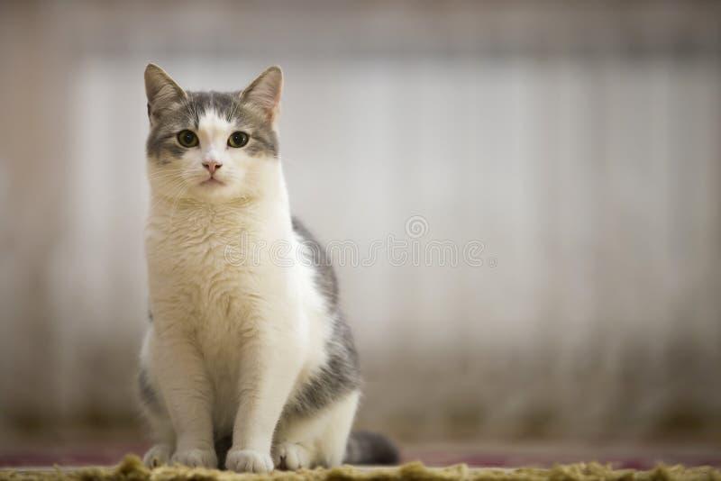 Portrait de chat blanc et gris gentil avec les yeux verts reposant dehors le regard droit vers le haut sur l'espace ensoleillé lé photographie stock libre de droits