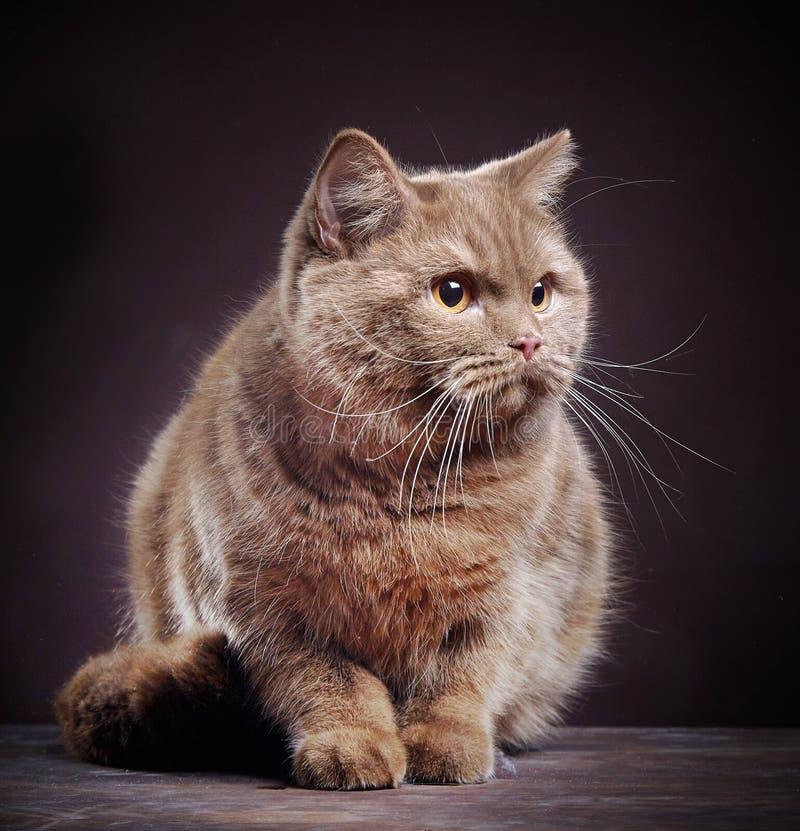Portrait de chat britannique de cheveux courts photos libres de droits