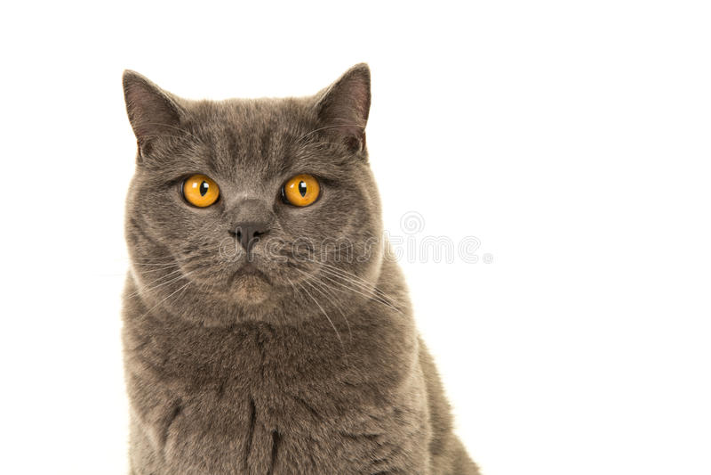 Portrait de chat gris de shorthair images libres de droits